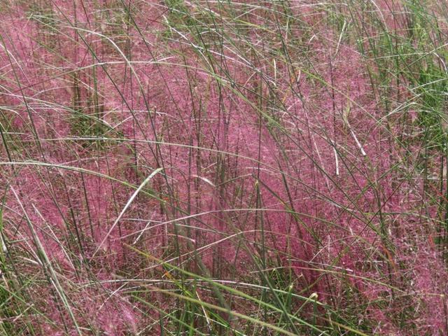 Pink Muhly Muhlenbergia4 9-25